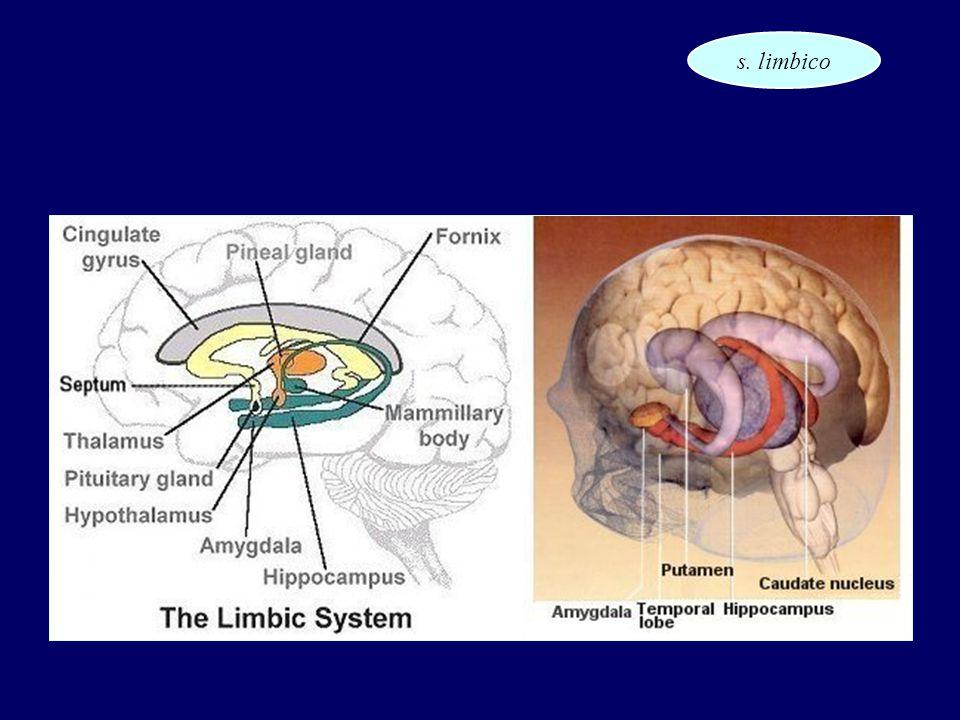 s. limbico