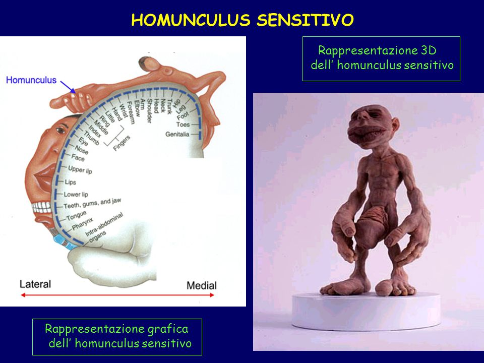 HOMUNCULUS SENSITIVO Rappresentazione grafica dell homunculus sensitivo Rappresentazione 3D dell homunculus sensitivo