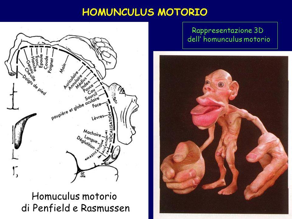 HOMUNCULUS MOTORIO Rappresentazione grafica dell homunculus sensitivo Rappresentazione 3D dell homunculus motorio Homuculus motorio di Penfield e Rasm