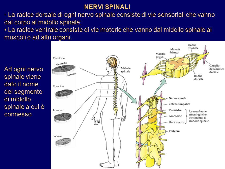 NERVI SPINALI La radice dorsale di ogni nervo spinale consiste di vie sensoriali che vanno dal corpo al midollo spinale; La radice ventrale consiste d