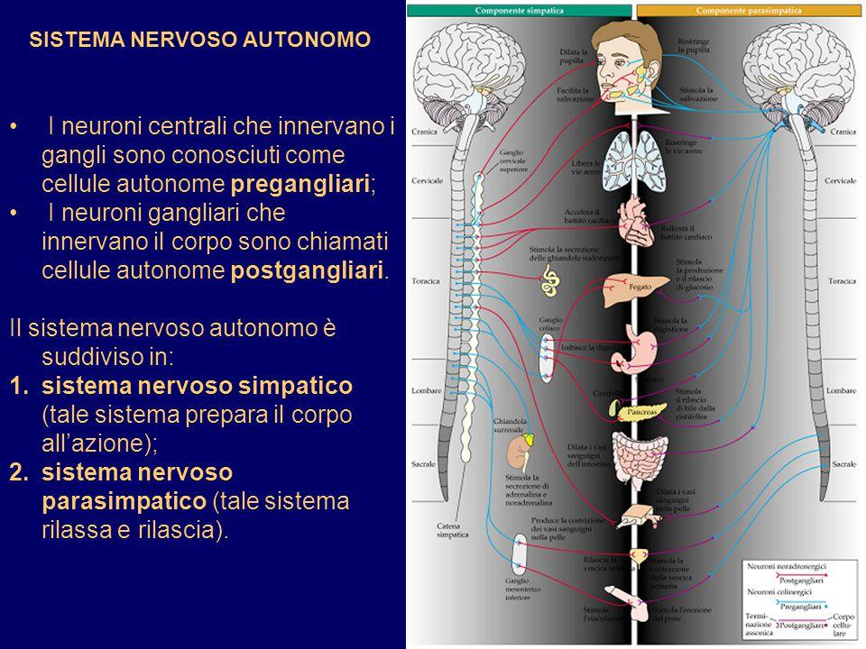SISTEMA NERVOSO AUTONOMO I neuroni centrali che innervano i gangli sono conosciuti come cellule autonome pregangliari; I neuroni gangliari che innerva