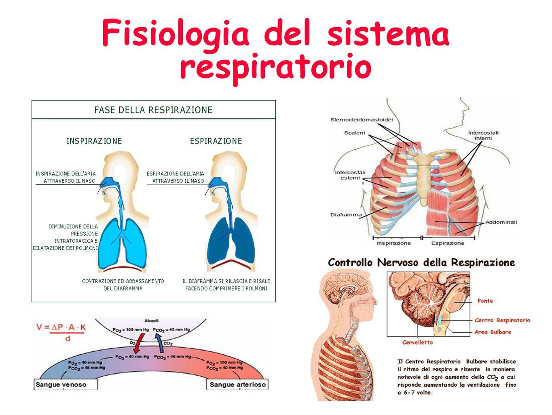 Anatomia del sistema respiratorio CURIOSITA: Nelladulto normale ci sono circa 300 milioni di alveoli con una superficie respiratoria di 100 mq.