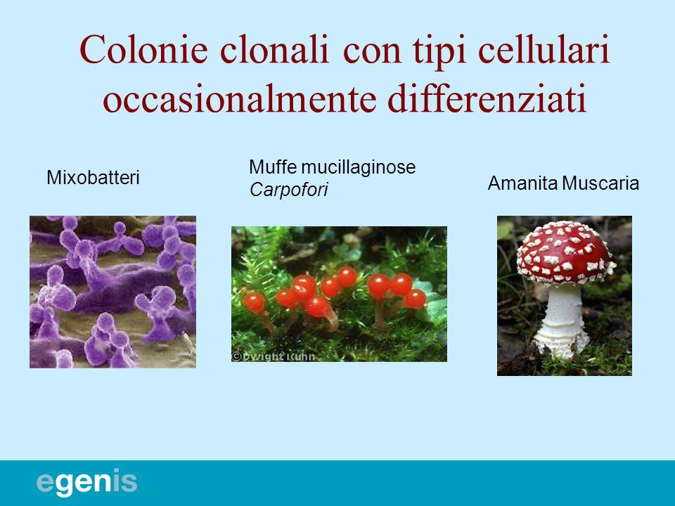 Mixobatteri Muffe mucillaginose Carpofori Amanita Muscaria Colonie clonali con tipi cellulari occasionalmente differenziati