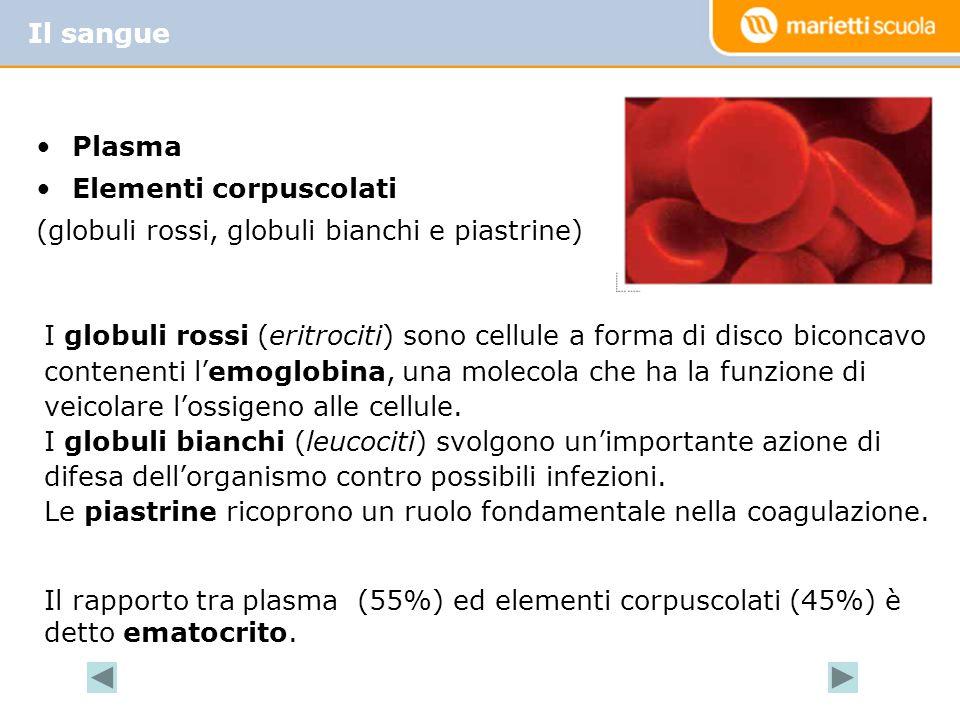 Plasma Elementi corpuscolati (globuli rossi, globuli bianchi e piastrine) Il sangue I globuli rossi (eritrociti) sono cellule a forma di disco biconca