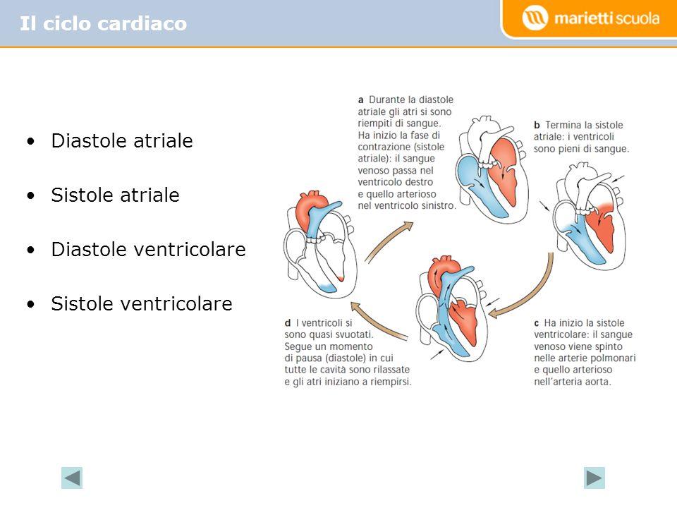 Diastole atriale Sistole atriale Diastole ventricolare Sistole ventricolare Il ciclo cardiaco