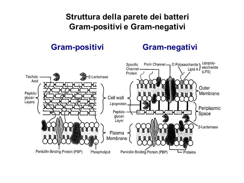 Struttura della parete dei batteri Gram-positivi e Gram-negativi Gram-positiviGram-negativi