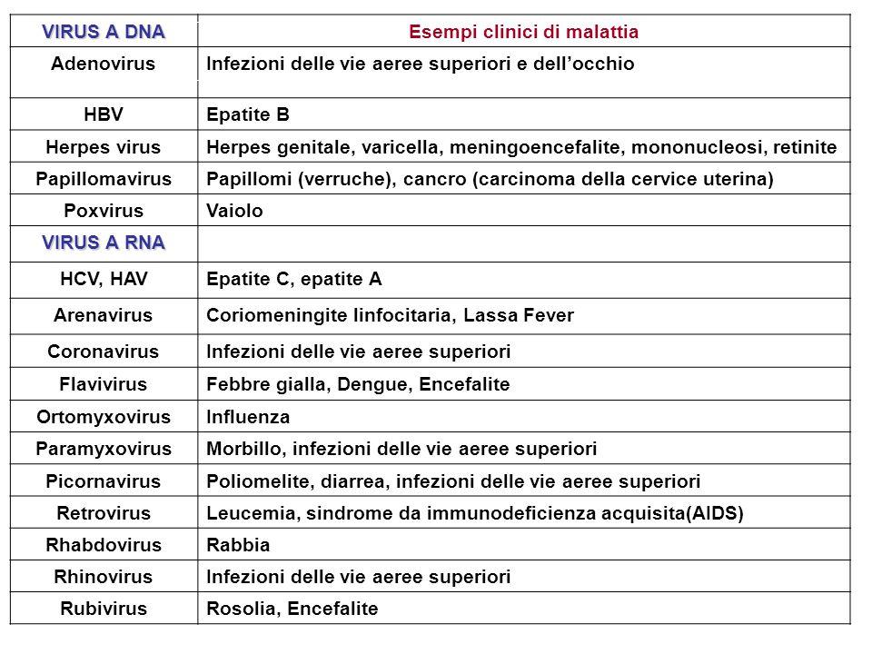 VIRUS A DNA Esempi clinici di malattia AdenovirusInfezioni delle vie aeree superiori e dellocchio HBVEpatite B Herpes virusHerpes genitale, varicella,