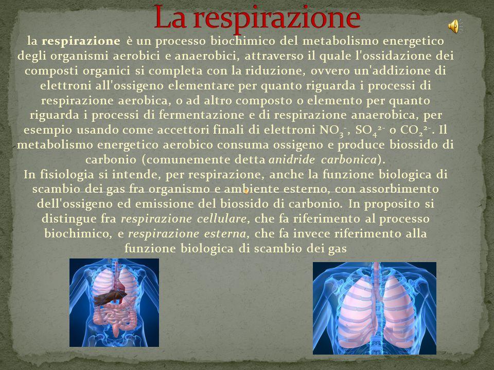 la respirazione è un processo biochimico del metabolismo energetico degli organismi aerobici e anaerobici, attraverso il quale l ossidazione dei composti organici si completa con la riduzione, ovvero un addizione di elettroni all ossigeno elementare per quanto riguarda i processi di respirazione aerobica, o ad altro composto o elemento per quanto riguarda i processi di fermentazione e di respirazione anaerobica, per esempio usando come accettori finali di elettroni NO 3 -, SO 4 2- o CO 2 2-.