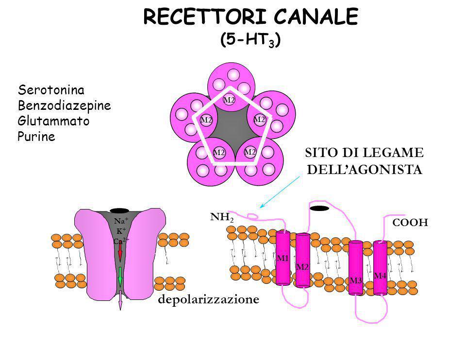 RECETTORI CANALE (5-HT 3 ) Na + K + Ca 2+ M2 NH 2 COOH M1 M2 M3 M4 SITO DI LEGAME DELLAGONISTA depolarizzazione Serotonina Benzodiazepine Glutammato P