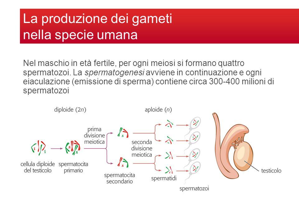 Nel maschio in età fertile, per ogni meiosi si formano quattro spermatozoi. La spermatogenesi avviene in continuazione e ogni eiaculazione (emissione