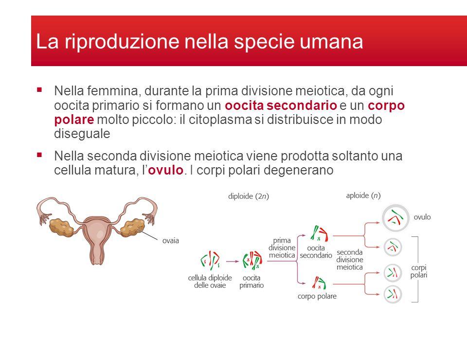 La riproduzione nella specie umana Nella femmina, durante la prima divisione meiotica, da ogni oocita primario si formano un oocita secondario e un co
