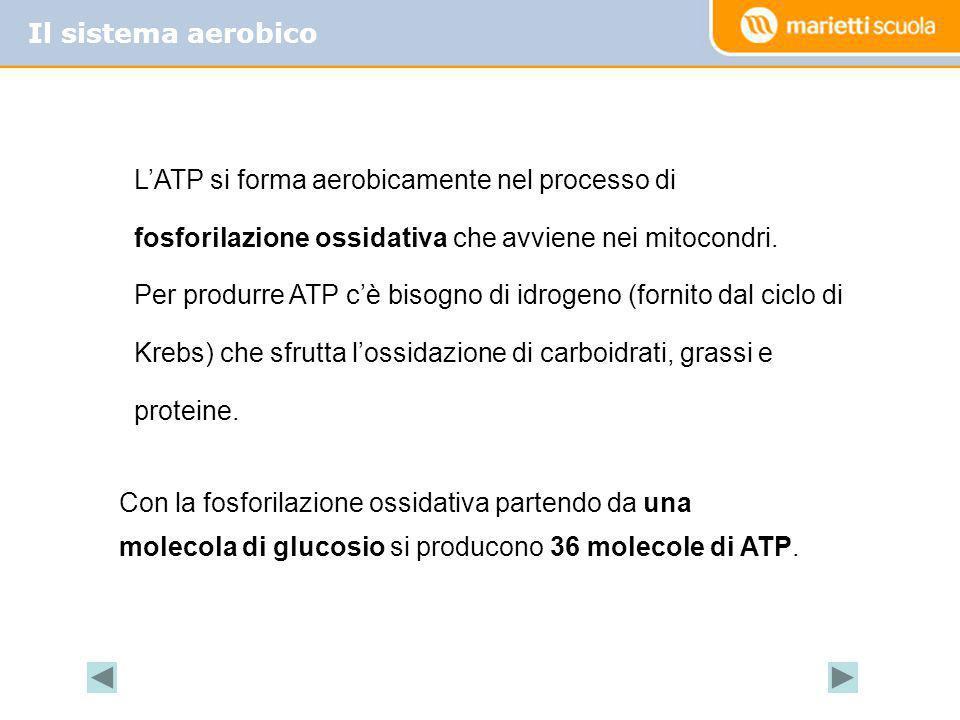 Il sistema aerobico LATP si forma aerobicamente nel processo di fosforilazione ossidativa che avviene nei mitocondri. Per produrre ATP cè bisogno di i