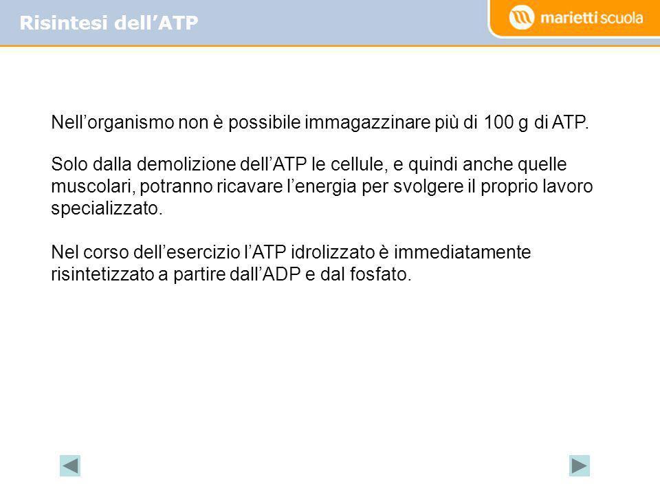 Risintesi dellATP Nellorganismo non è possibile immagazzinare più di 100 g di ATP. Solo dalla demolizione dellATP le cellule, e quindi anche quelle mu