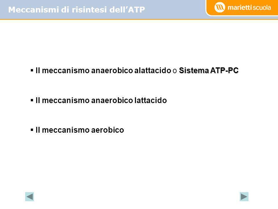Meccanismi di risintesi dellATP Sistema ATP-PC Il meccanismo anaerobico alattacido o Sistema ATP-PC Il meccanismo anaerobico lattacido Il meccanismo a