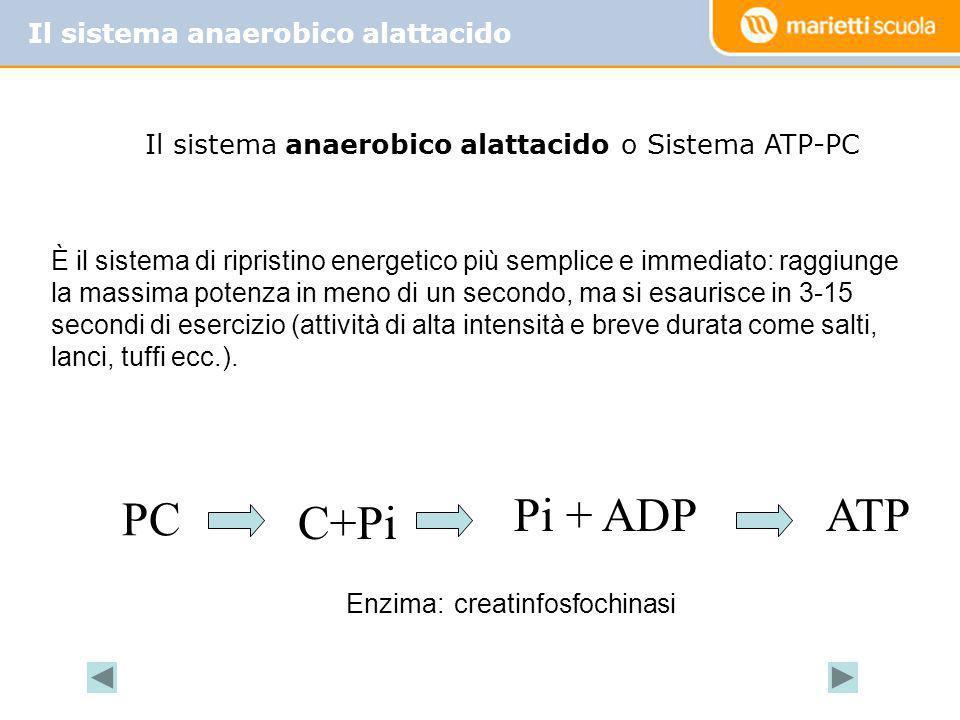 Il sistema anaerobico alattacido PC C+Pi Pi + ADPATP È il sistema di ripristino energetico più semplice e immediato: raggiunge la massima potenza in m