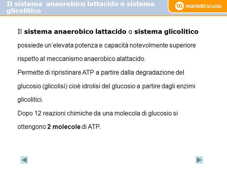 Il sistema anaerobico lattacido o sistema glicolitico possiede unelevata potenza e capacità notevolmente superiore rispetto al meccanismo anaerobico a