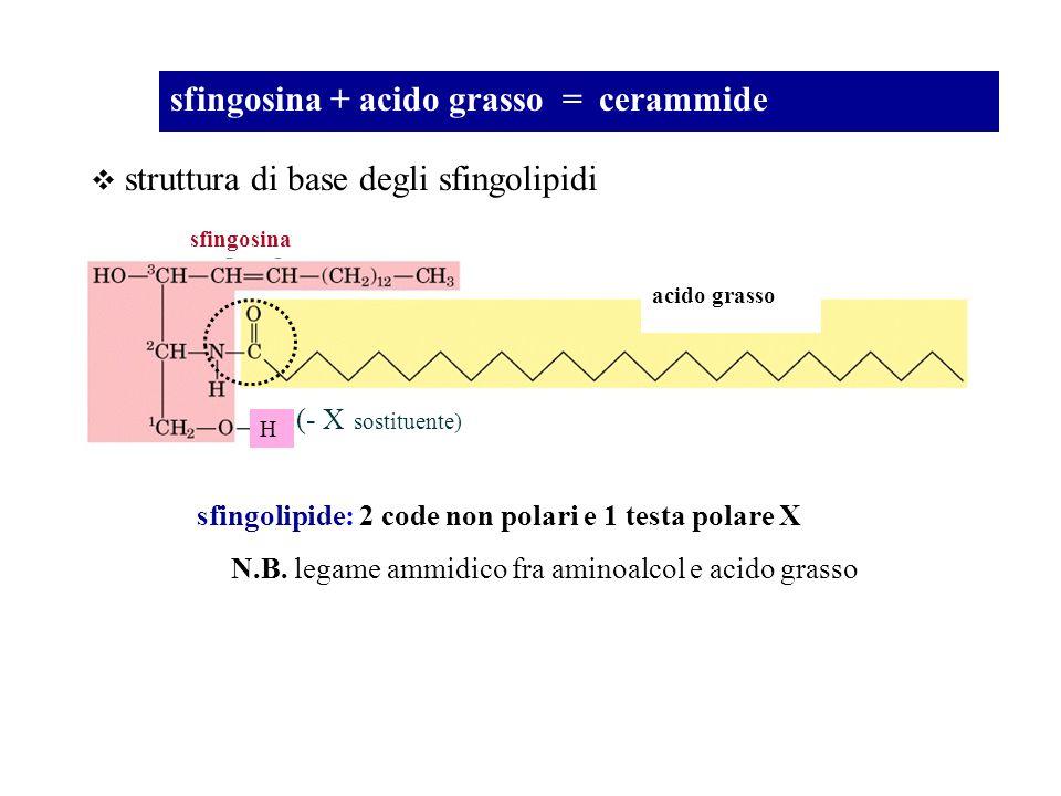 sfingosina + acido grasso = cerammide struttura di base degli sfingolipidi sfingolipide: 2 code non polari e 1 testa polare X sfingosina N.B. legame a