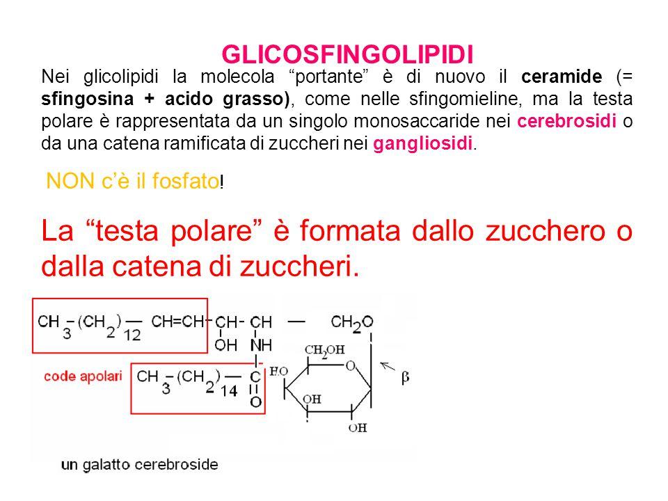 GLICOSFINGOLIPIDI Nei glicolipidi la molecola portante è di nuovo il ceramide (= sfingosina + acido grasso), come nelle sfingomieline, ma la testa pol