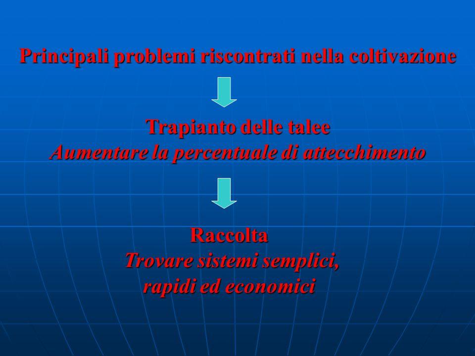 Principali problemi riscontrati nella coltivazione Trapianto delle talee Aumentare la percentuale di attecchimento Raccolta Trovare sistemi semplici, rapidi ed economici Trovare sistemi semplici, rapidi ed economici