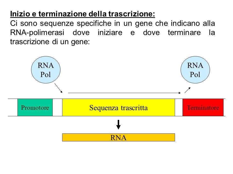 Inizio e terminazione della trascrizione: Ci sono sequenze specifiche in un gene che indicano alla RNA-polimerasi dove iniziare e dove terminare la tr