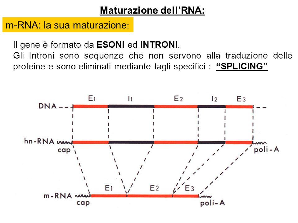 Maturazione dellRNA: Il gene è formato da ESONI ed INTRONI. Gli Introni sono sequenze che non servono alla traduzione delle proteine e sono eliminati