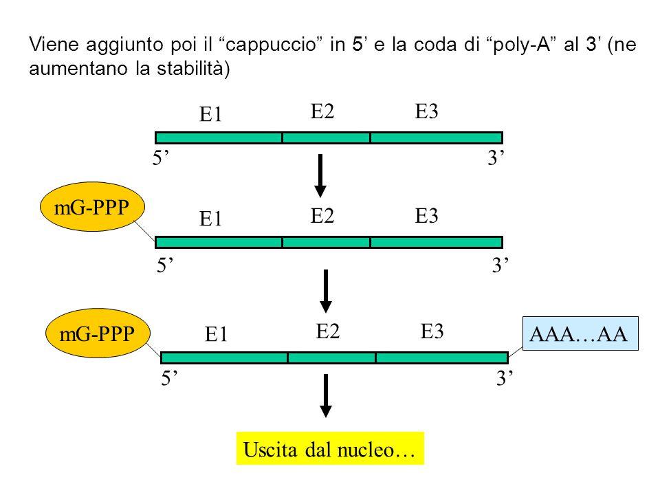 Viene aggiunto poi il cappuccio in 5 e la coda di poly-A al 3 (ne aumentano la stabilità) mG-PPP E1 E2E3 E1 E2E3 E1 E2E3 AAA…AA mG-PPP 53 5 5 3 3 Usci
