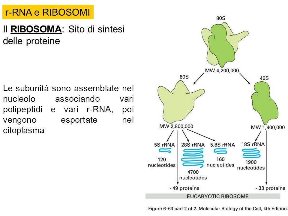 Il RIBOSOMA: Sito di sintesi delle proteine Le subunità sono assemblate nel nucleolo associando vari polipeptidi e vari r-RNA, poi vengono esportate n