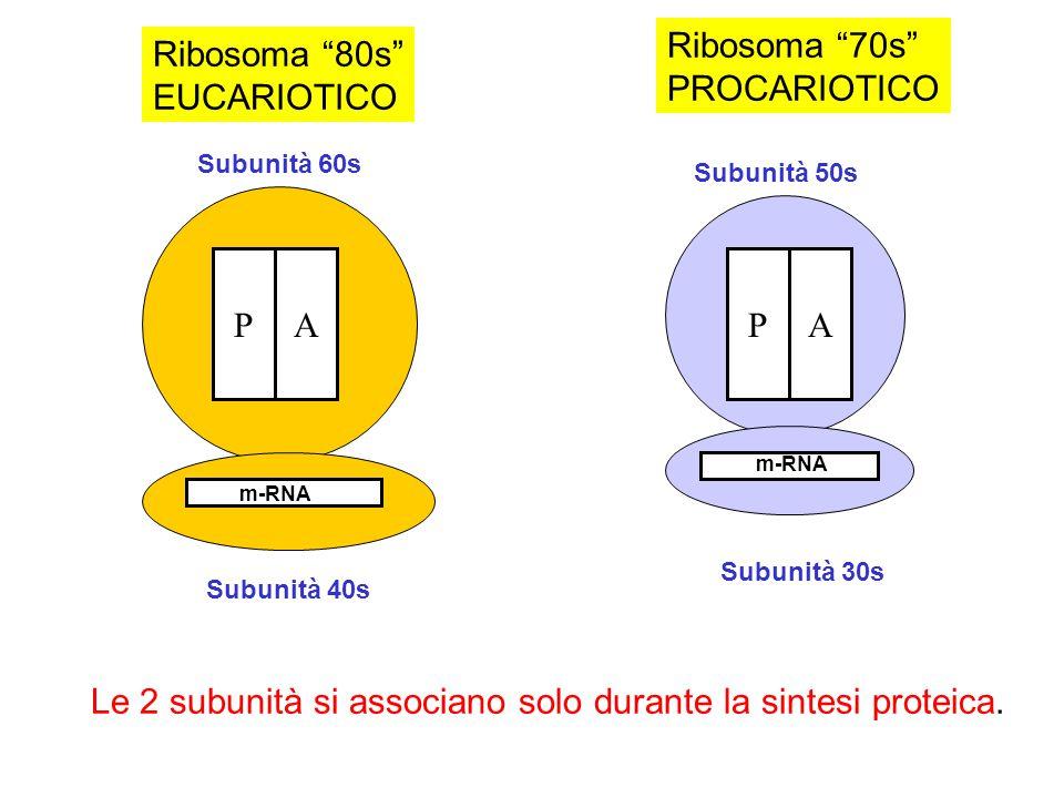 Ribosoma 80s EUCARIOTICO Ribosoma 70s PROCARIOTICO Le 2 subunità si associano solo durante la sintesi proteica. PAPA Subunità 60s Subunità 40s Subunit