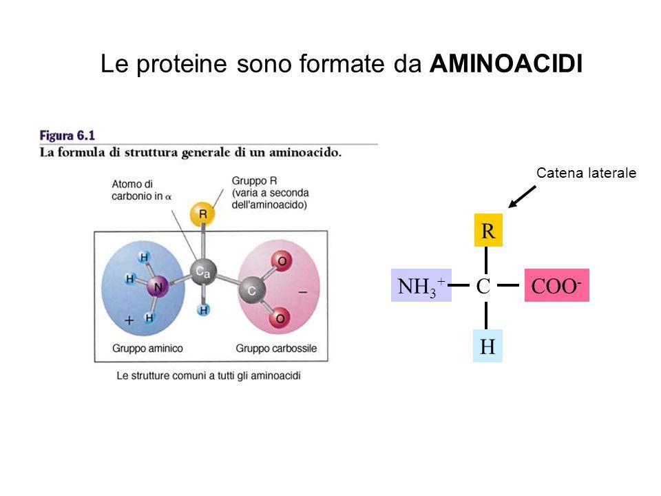 Le proteine sono formate da AMINOACIDI NH 3 + C H R COO - Catena laterale