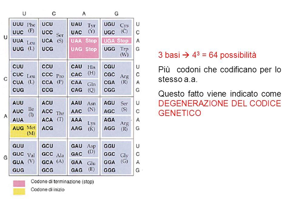3 basi 4 3 = 64 possibilità Più codoni che codificano per lo stesso a.a. Questo fatto viene indicato come DEGENERAZIONE DEL CODICE GENETICO
