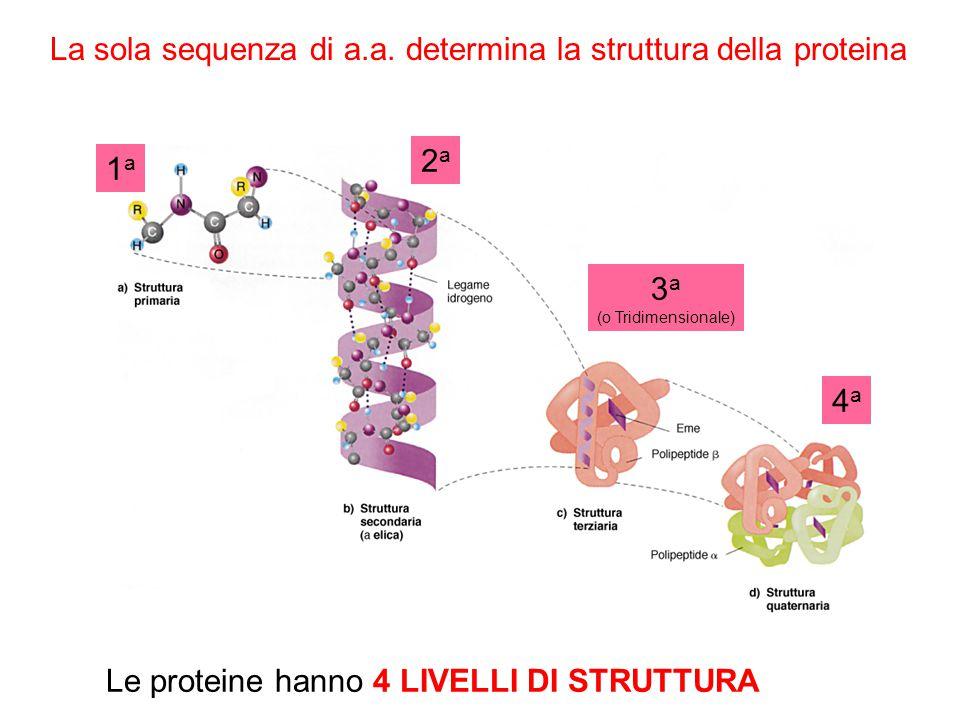 IL DOGMA CENTRALE DELLA BIOLOGIA DNA RNA Proteine DNA Duplicazione Trascrizione Traduzione Passaggio dellinformazione contenuta nel DNA mediante la sintesi di RNA Costruzione della catena polipeptidica