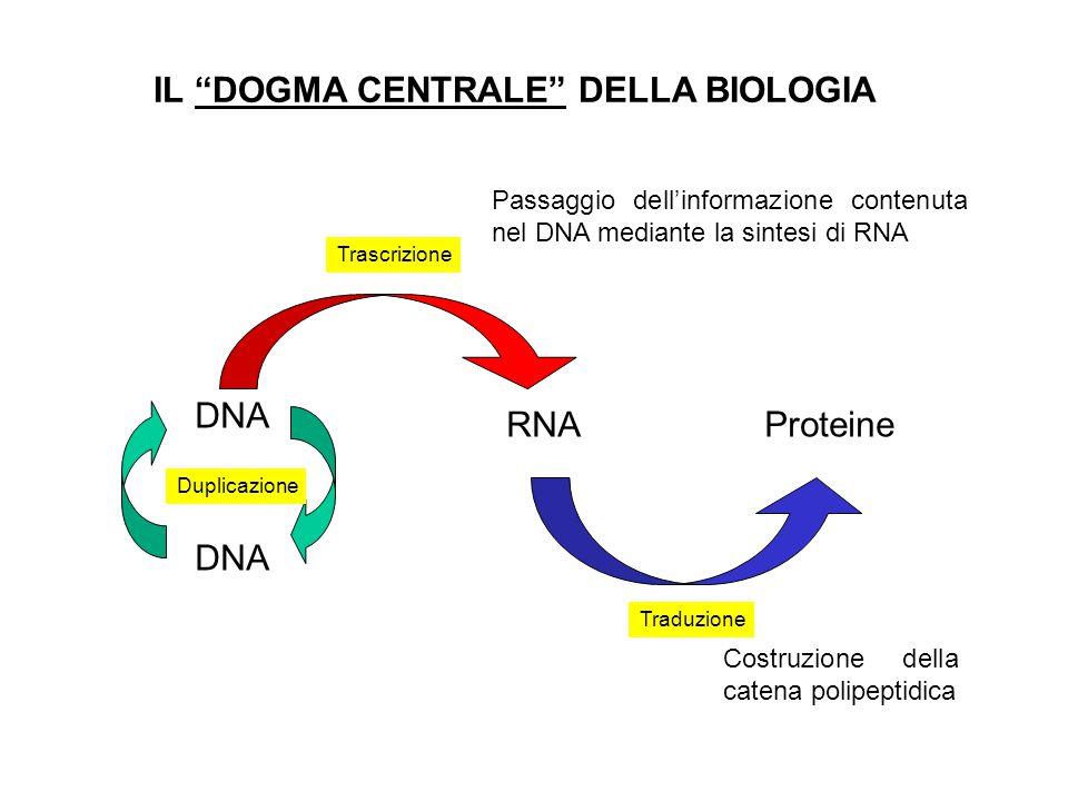 IL DOGMA CENTRALE DELLA BIOLOGIA DNA RNA Proteine DNA Duplicazione Trascrizione Traduzione Passaggio dellinformazione contenuta nel DNA mediante la si