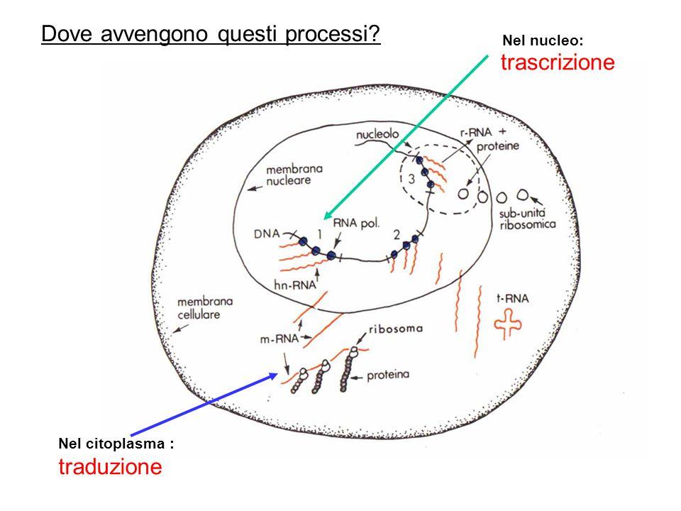 LRna è un acido ribonucleico LRNA è una molecola polinucleotidica a singolo filamento Al posto della Timina (T) cè una nuova base azotata: lUracile (U) Nucleotide RNA Ribosio