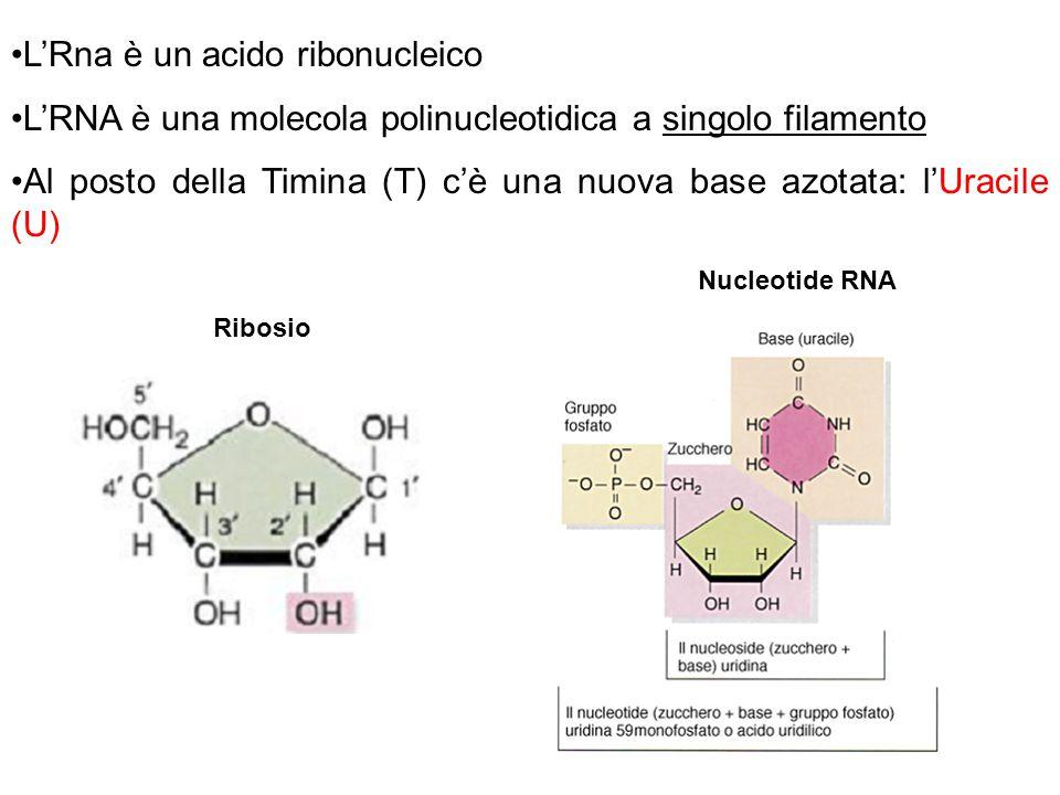 Ci sono 3 tipi di RNA: m-RNA (3%) o messaggero 1 solo sito di trascrizione tradotto t-RNA (13%) o transfer piusiti di trascrizione r-RNA (84%) o ribosomale piusiti di trascrizione TRASCRIZIONE: sintesi di RNA a partire da uno stampo di DNA.