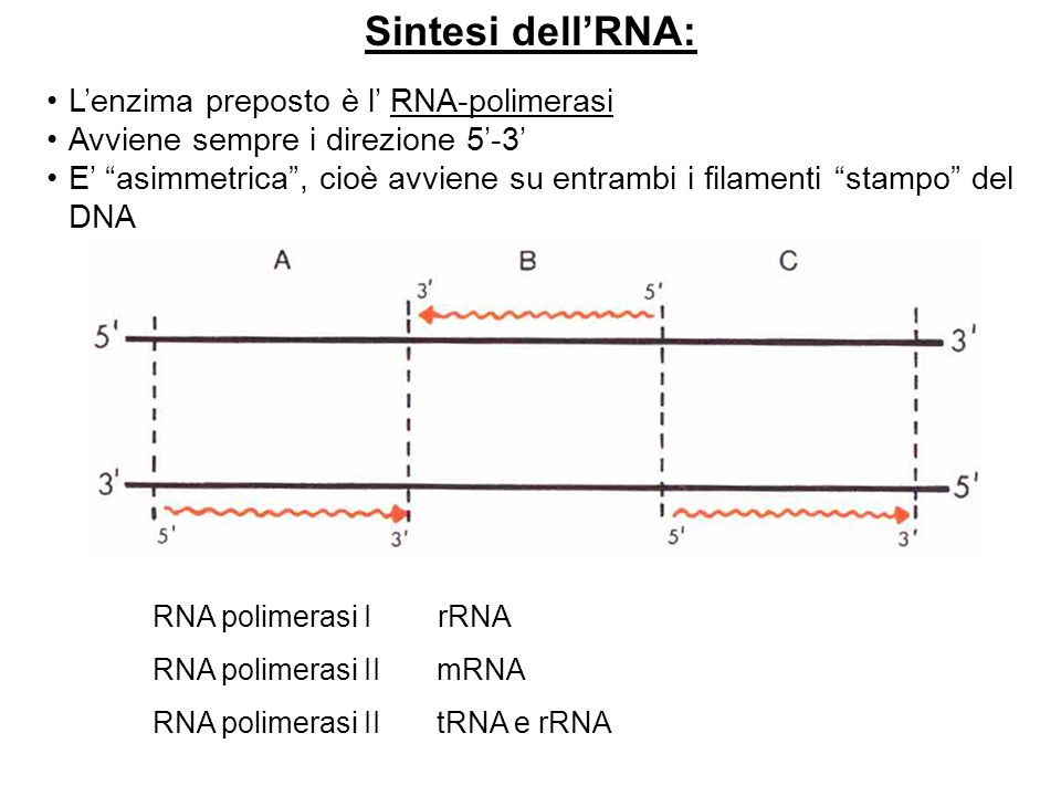 Sintesi dellRNA: Lenzima preposto è l RNA-polimerasi Avviene sempre i direzione 5-3 E asimmetrica, cioè avviene su entrambi i filamenti stampo del DNA