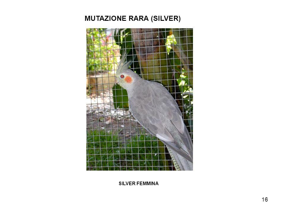 17 MUTAZIONE RARA (SILVER DOMINANTE SILVER MASCHIO DOMINANTE SILVERFEMMINA