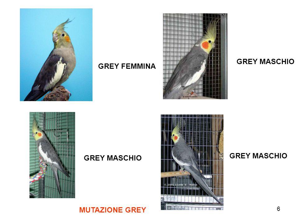 7 MUTAZIONi dominanti rare Dominante silver maschio Dominante silver femmina Dominante silver maschio Doppio fattore dominante silver femmina