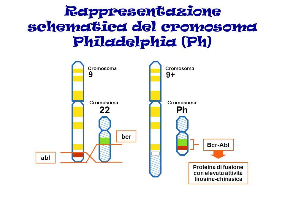 La leucemia MIELOIDE CRONICA (LMC) Questa malattia è caratterizzata dalla presenza del cromosoma Philadelphia (Ph) che rappresenta l'anomalia genetica