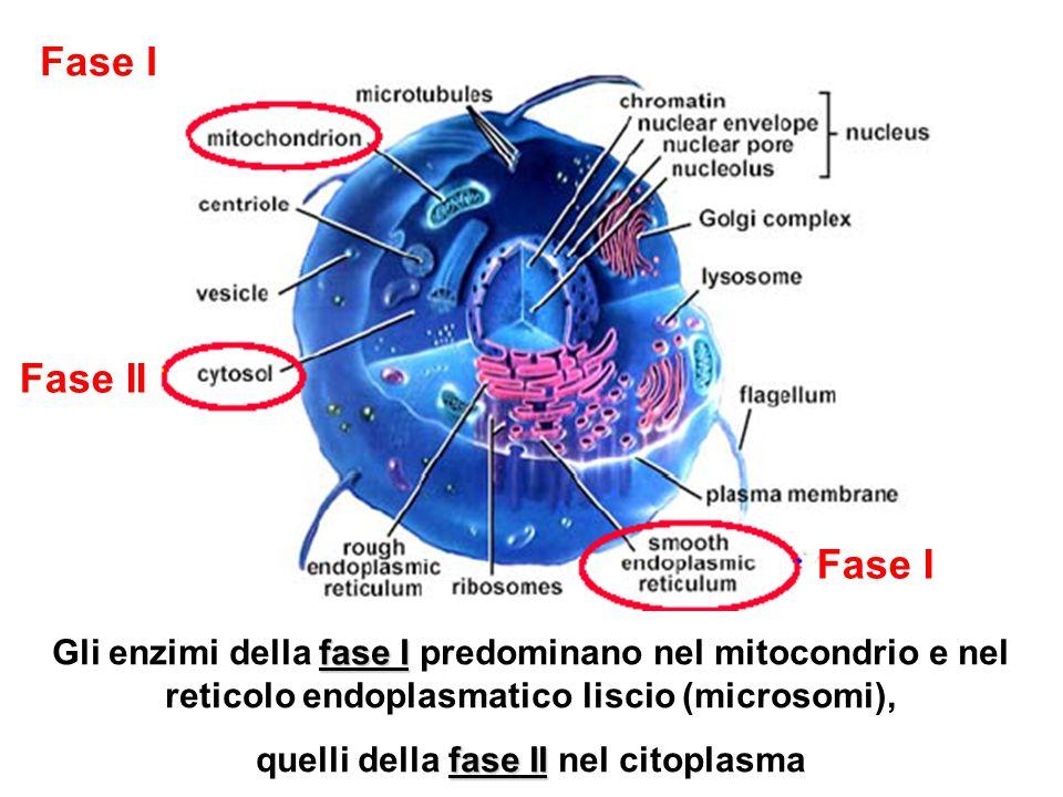 Fase I Fase II fase I Gli enzimi della fase I predominano nel mitocondrio e nel reticolo endoplasmatico liscio (microsomi), fase II quelli della fase II nel citoplasma
