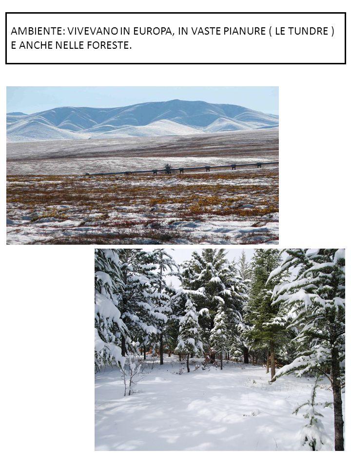 AMBIENTE: VIVEVANO IN EUROPA, IN VASTE PIANURE ( LE TUNDRE ) E ANCHE NELLE FORESTE.