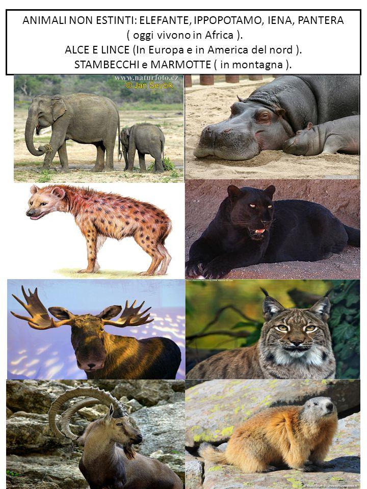 ANIMALI NON ESTINTI: ELEFANTE, IPPOPOTAMO, IENA, PANTERA ( oggi vivono in Africa ). ALCE E LINCE (In Europa e in America del nord ). STAMBECCHI e MARM