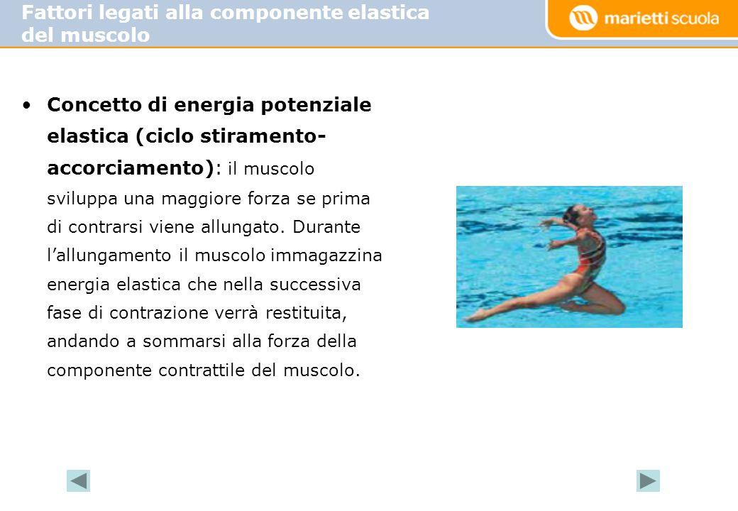 •Concetto di energia potenziale elastica (ciclo stiramento- accorciamento): il muscolo sviluppa una maggiore forza se prima di contrarsi viene allunga