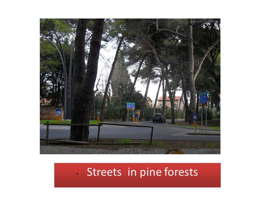 • Streets in pine forests