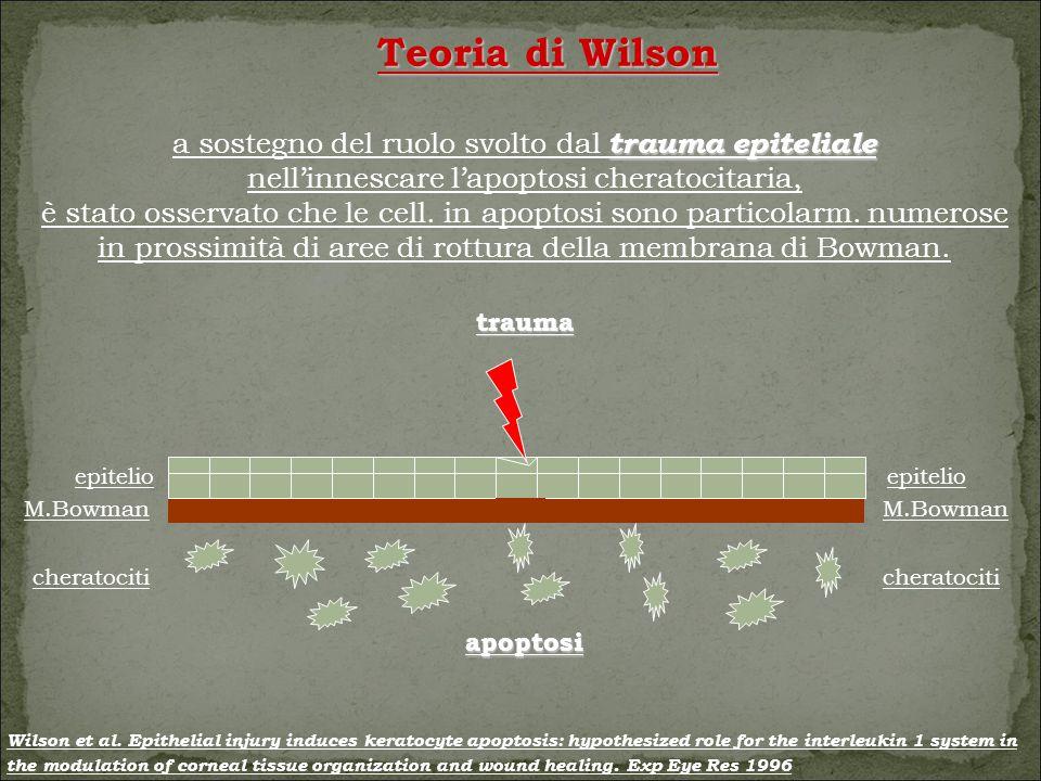 Teoria di Wilson trauma epiteliale a sostegno del ruolo svolto dal trauma epiteliale nell'innescare l'apoptosi cheratocitaria, è stato osservato che le cell.