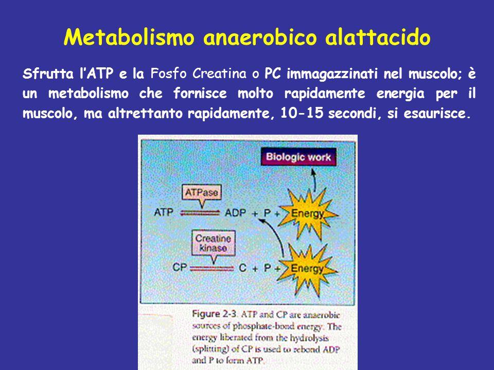Metabolismo anaerobico alattacido Sfrutta l'ATP e la Fosfo Creatina o PC immagazzinati nel muscolo; è un metabolismo che fornisce molto rapidamente en