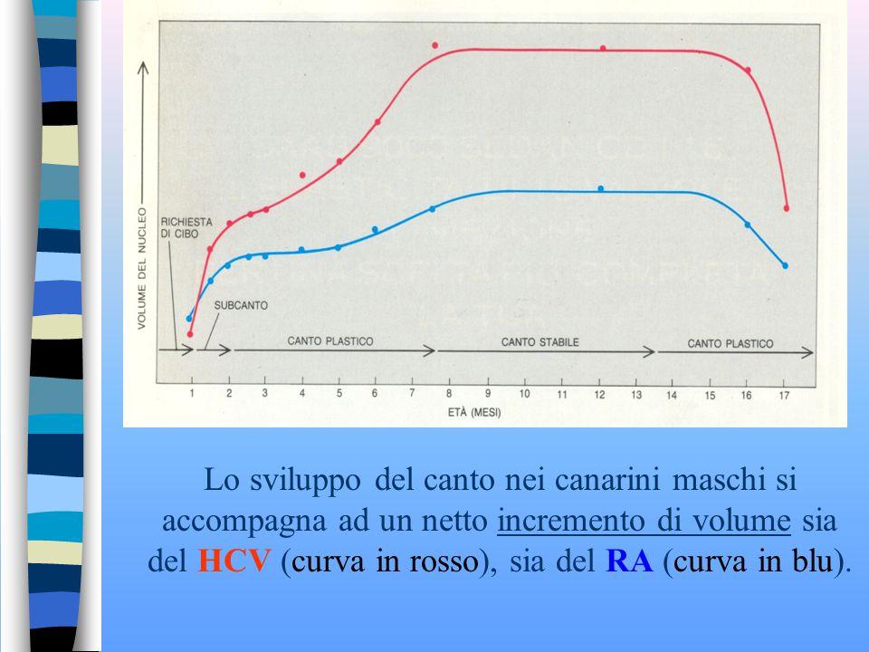 Evoluzione del HCV (Centro Vocale Superiore) di un canarino maschio