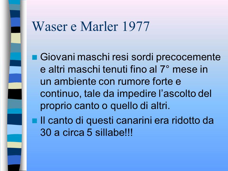 Waser e Marler 1977 Studio su Canarini Harzer-Roller: Novelli a contatto con il padre dalla nascita imparavano dal 76% al 91% delle sillabe Novelli che ascoltavano una registrazione imparavano dal 58% all'82% delle sillabe Differenza non considerata significativa COMMENTO: Non veniva tenuta in considerazione la qualità del canto