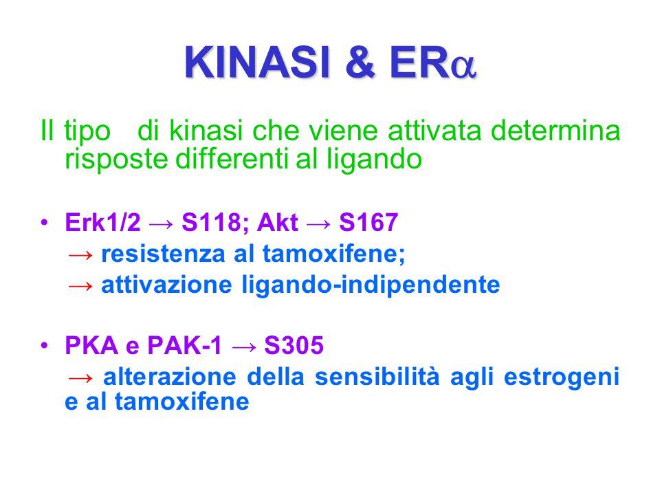 KINASI & ER  Il tipo di kinasi che viene attivata determina risposte differenti al ligando Erk1/2 → S118; Akt → S167 → resistenza al tamoxifene; → at