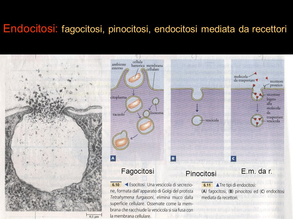 Endocitosi: fagocitosi, pinocitosi, endocitosi mediata da recettori Fagocitosi Pinocitosi E.m. da r.