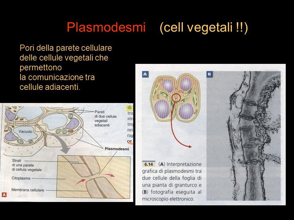 Plasmodesmi (cell vegetali !!) Pori della parete cellulare delle cellule vegetali che permettono la comunicazione tra cellule adiacenti.